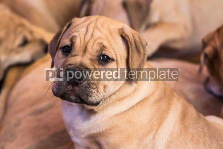 Animals: Ca de Bou (Mallorquin Mastiff) puppy dog #05827