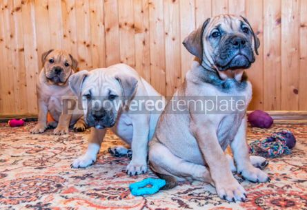 Animals: Ca de Bou (Mallorquin Mastiff) puppy dog #05828