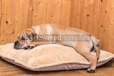 Animals: Ca de Bou (Mallorquin Mastiff) puppy dog #05833