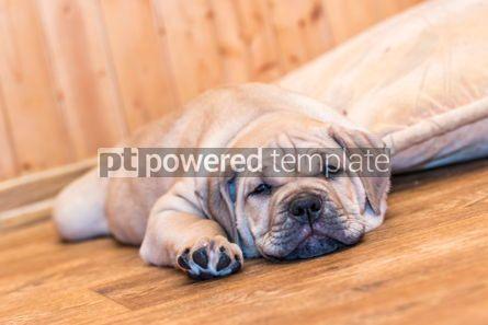 Animals: Ca de Bou (Mallorquin Mastiff) puppy dog #05835