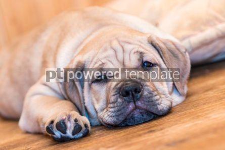 Animals: Ca de Bou (Mallorquin Mastiff) puppy dog #05836