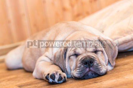 Animals: Ca de Bou (Mallorquin Mastiff) puppy dog #05837