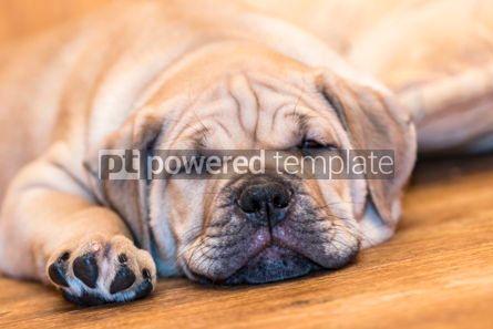 Animals: Ca de Bou (Mallorquin Mastiff) puppy dog #05838