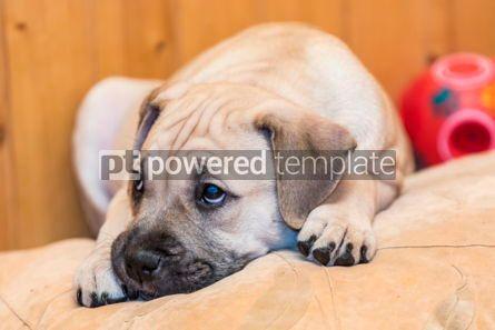 Animals: Ca de Bou (Mallorquin Mastiff) puppy dog #05839