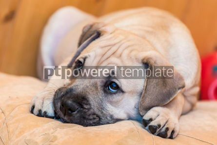 Animals: Ca de Bou (Mallorquin Mastiff) puppy dog #05840
