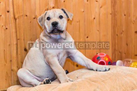 Animals: Ca de Bou (Mallorquin Mastiff) puppy dog #05841