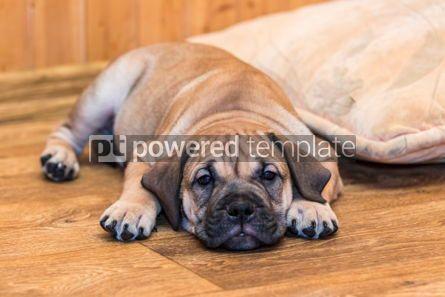 Animals: Ca de Bou (Mallorquin Mastiff) puppy dog #05842