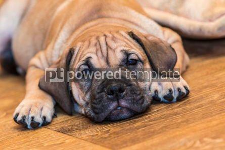 Animals: Ca de Bou (Mallorquin Mastiff) puppy dog #05843