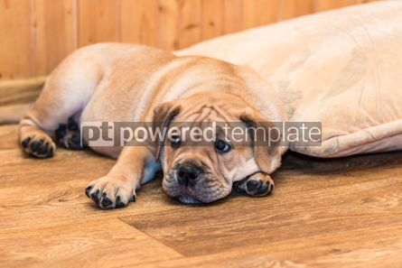 Animals: Ca de Bou (Mallorquin Mastiff) puppy dog #05844
