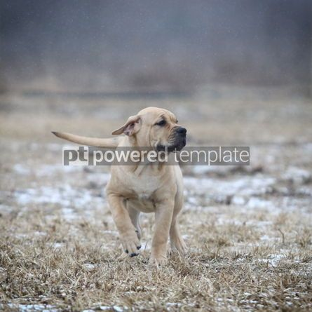 Animals: Ca de Bou (Mallorquin Mastiff) puppy dog #05859