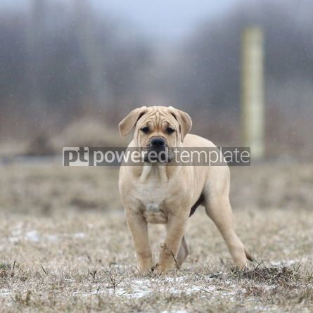 Animals: Ca de Bou (Mallorquin Mastiff) puppy dog #05865