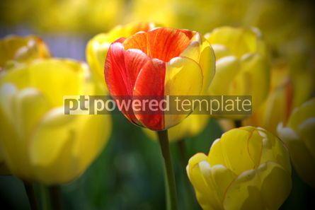 Nature: Yellow tulips #05873