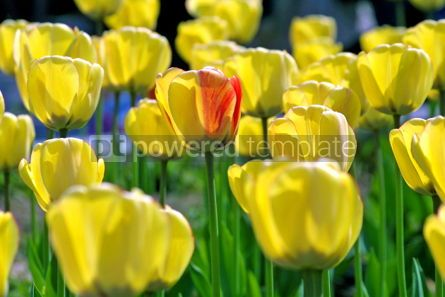 Nature: Yellow tulips #05874