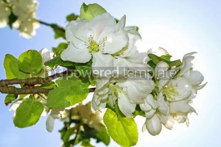 Nature: Close-up white blooming branch in springtime #05875