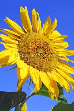 Nature: Beautiful sunflower with blue sky background #05876