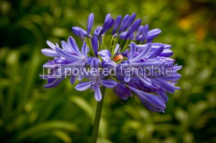 Nature: Blue African Lily (Agapanthus Africanus) #05880