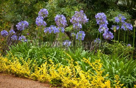 Nature: Blue African Lily (Agapanthus Africanus) flowers #05881