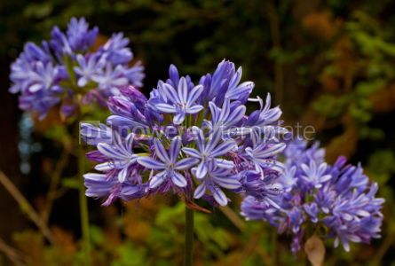 Nature: Blue African Lily (Agapanthus Africanus) #05882