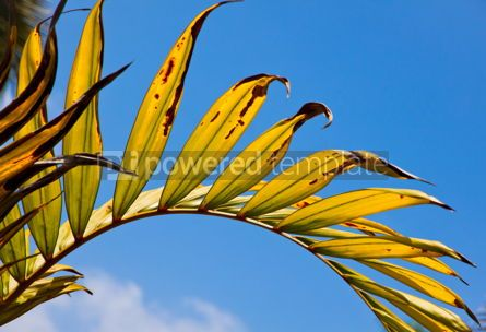 Nature: Yellow-green palm leaf with radial veins #05890