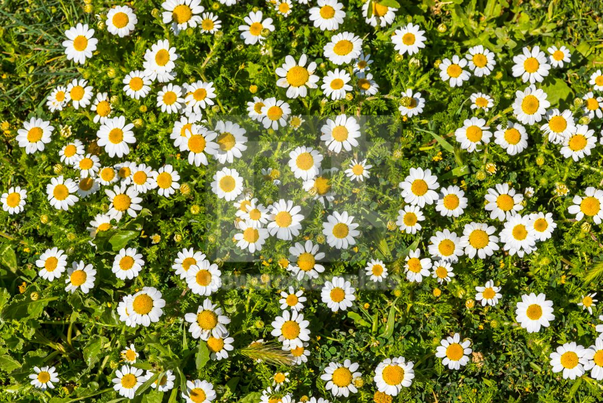 Meadow with green grass and white daisy flowers, 05892, Nature — PoweredTemplate.com