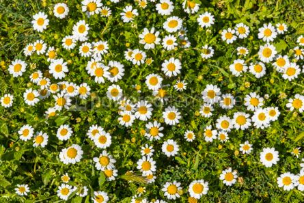 Nature: Meadow with green grass and white daisy flowers #05892
