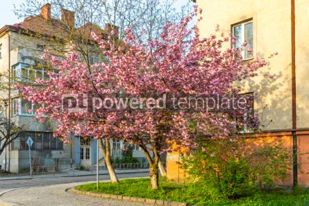 Nature: Pink sakura trees on the street of Uzhgorod Ukraine #05893