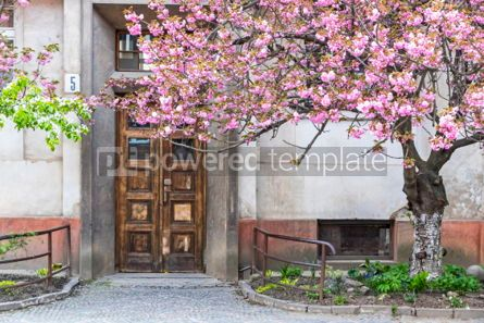 Nature: Pink sakura trees on the street of Uzhgorod Ukraine #05894