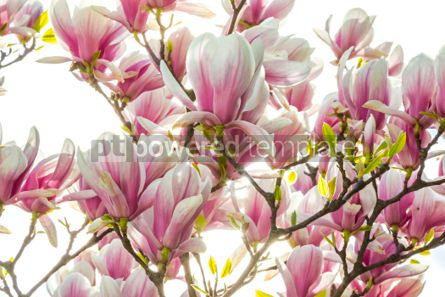 Nature: Pink magnolia flowers in the garden #05895