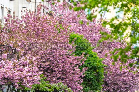 Nature: Blossoming pink sakura trees #05898