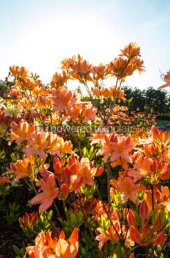 Nature: Pink Azalea flowers (Rhododendron) in the garden #05899