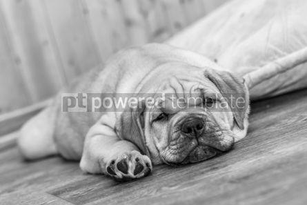 Animals: Ca de Bou (Mallorquin Mastiff) puppy dog #05900