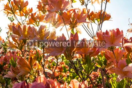 Nature: Pink Azalea flowers (Rhododendron) in the garden #05901