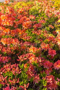 Nature: Pink Azalea flowers (Rhododendron) in the garden #05903