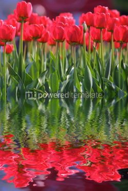 Nature: Red tulips #05904