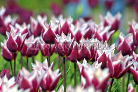 Nature: Violet tulips in spring garden #07076