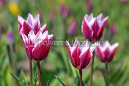 Nature: Violet tulips in spring garden #07077