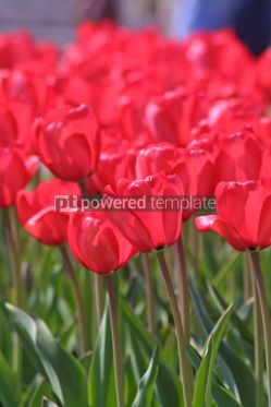 Nature: Close-up red tulips in the garden #07078