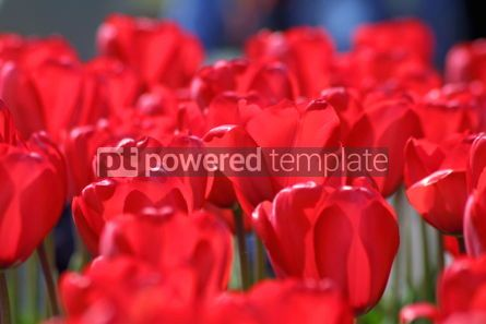 Nature: Red tulips #07079