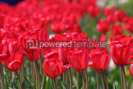 Nature: Red tulips #07080