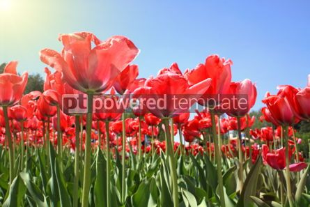 Nature: Red tulips in garden  #07081
