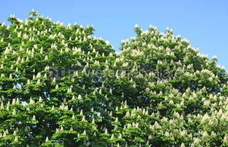 Nature: A chestnut tree with white blossoms #07083