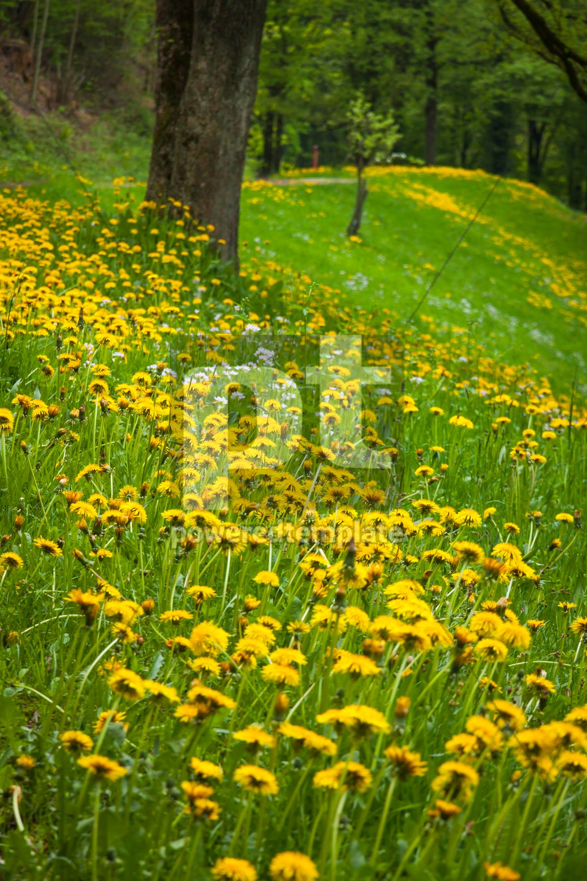 Landscape with green meadow and many yellow dandelions, 07091, Nature — PoweredTemplate.com