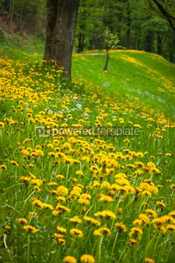 Nature: Landscape with green meadow and many yellow dandelions #07091