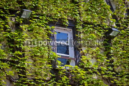 Nature: Wall with window covered with green ivy #07092
