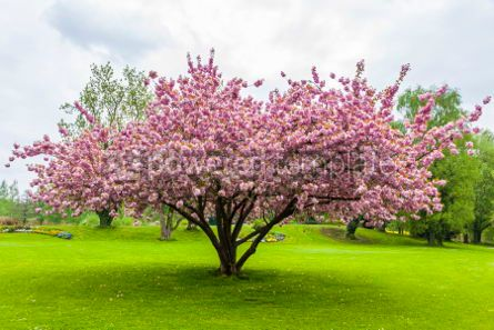 Nature: Beautiful sakura tree in the park #07093