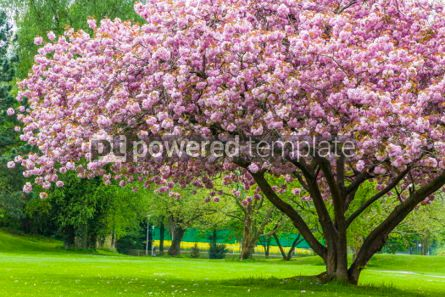 Nature: Beautiful sakura tree in the park #07094
