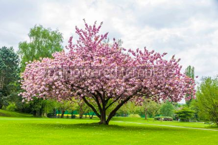 Nature: Beautiful sakura tree in the park #07095