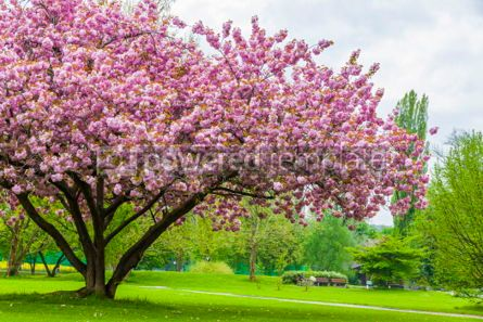 Nature: Beautiful sakura tree in the park #07096