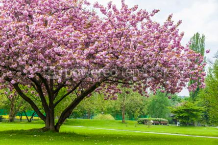 Nature: Beautiful sakura tree in the park #07097