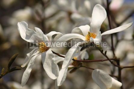 Nature: White magnolia flowers in spring garden #07101